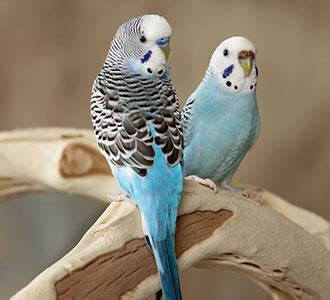 Keeping your budgie healthy   PDSA