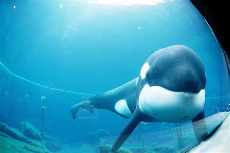 Keiko  killer whale    Wikipedia
