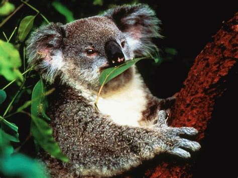 Koala | Animal Wildlife