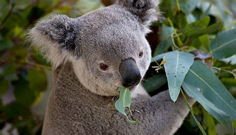 Koala – The Animals of Australia