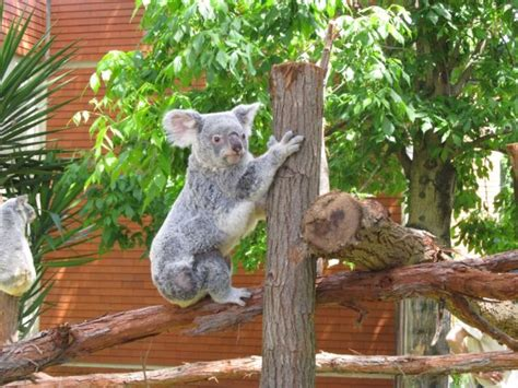 Koalas have new outdoor area at Lisbon zoo   The Portugal News