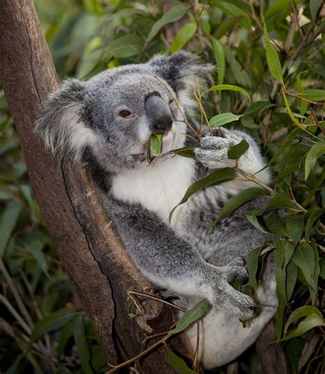Koalas spend their entire lives in eucalyptus trees ...