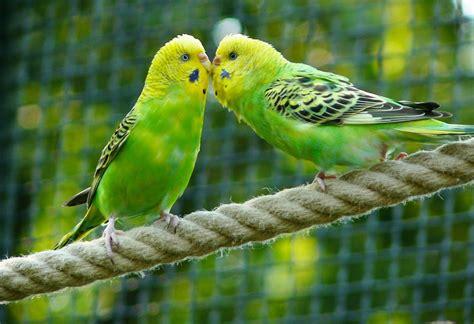 Kostenloses Foto: Wellensittiche, Vögel, Sittiche ...
