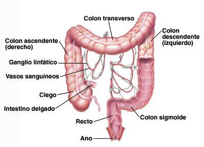 Krames Online   Cómo funciona el colon