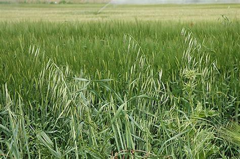 La amapola, la flor indomable temida por los agricultores ...