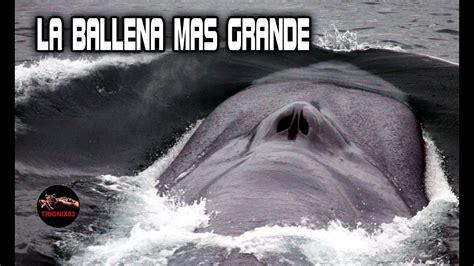 La ballena mas grande del mundo: BALLENAS GIGANTES – El ...
