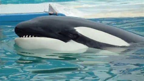 La ballena Orca del Seaquarium   YouTube