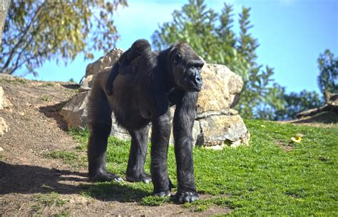 la bebe gorila mbeli cumple 7 meses en bioparc valencia ...
