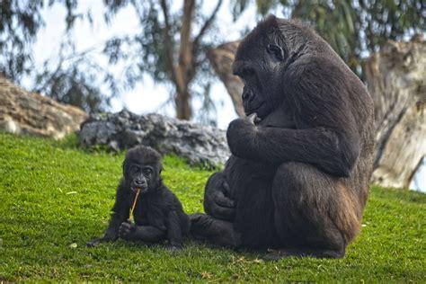 La bebé gorila  VIRUNGA  nacida en el bosque ecuatorial de ...