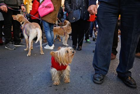 La bendición de animales por San Antonio Abad en Valencia ...