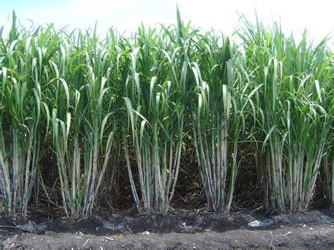 La caña de azúcar y su importancia para la industria ...