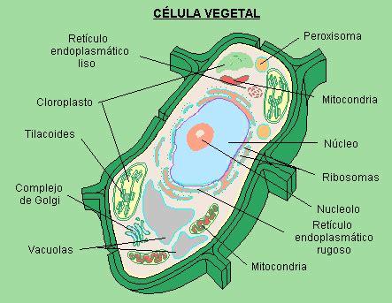 LA CELULA: la celula vegetal sus partes