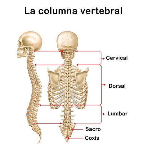 La Columna Vertebral: funciones, ubicación, partes ...