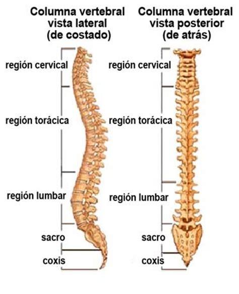 LA COLUMNA VERTEBRAL   Huesos, Músculos y Articulaciones