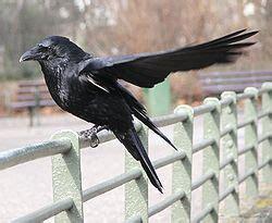 La corneja negra  Corvus corone  es una especie de ave ...