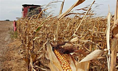 La cosecha de maíz muestra buenos rendimientos, mientras ...