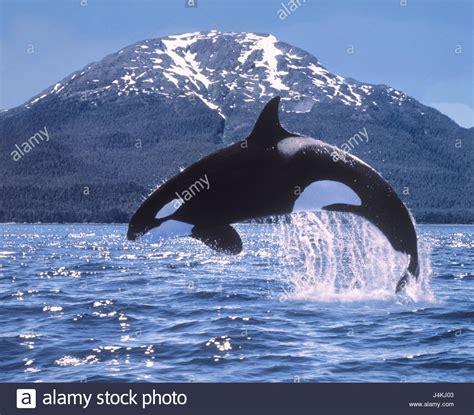 La costa, el mar, la ballena asesina, Orcinus orca, crack ...