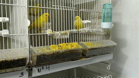 La cría de canarios  cuando comprar canarios    YouTube