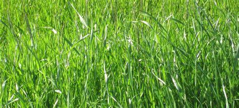 La efímera hierba y sus dos ciclos vitales