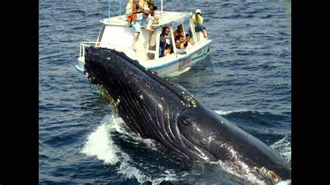 La historia de la caza de ballenas  History of whaling ...