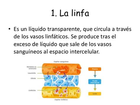 La Linfa: ¿Qué es? Funciones, composición, formación ...
