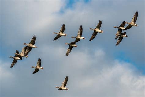 La llegada de las aves invernantes a Doñana