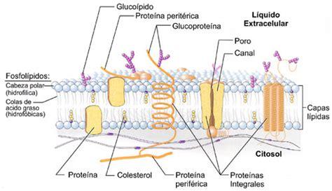 La Membrana Celular: biomoléculas | Ipeprepabiologia s Blog