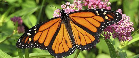 La migración de la mariposa monarca está por comenzar ...