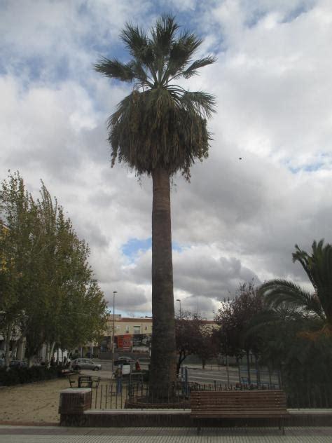 La palmera en su plaza homónima en General Ricardos, MADRID