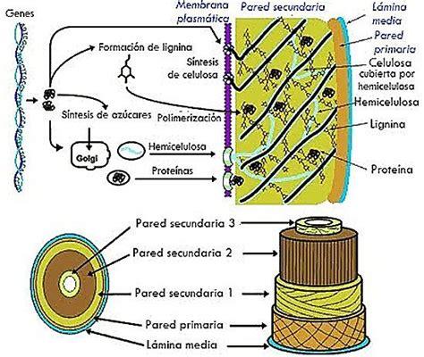La pared celular | Pared celular, Pared celular vegetal, Pared
