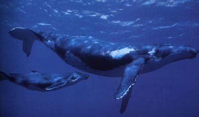 La promiscuidad de las ballenas | Sociedad | EL PAÍS