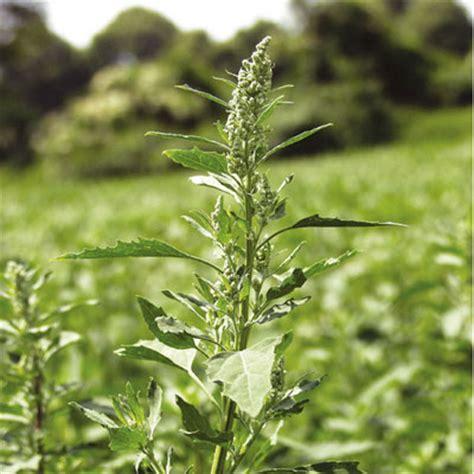 La protección del cultivo de maíz contra las malas hierbas ...