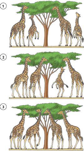 La seleccion natural de Darwin y Wallace   La evolución