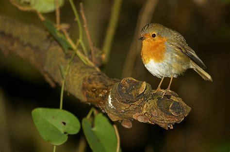 La Serranía Natural » pájaro con dimorfismo sexual