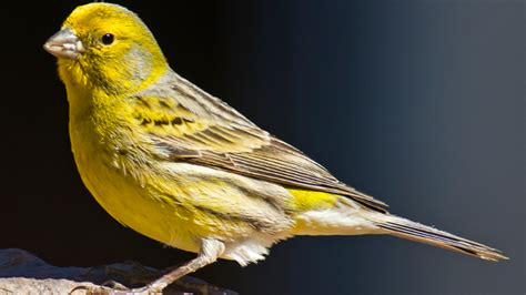 La testosterona provoca que los canarios compongan cada ...