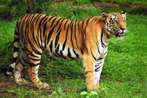 La tigre reale del Bengala   Bangladesh