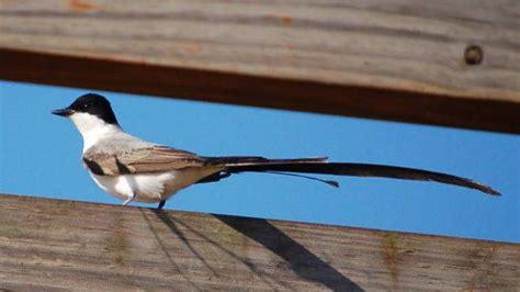 La tijereta sabanera ya no forma parte de la Lista de Aves ...