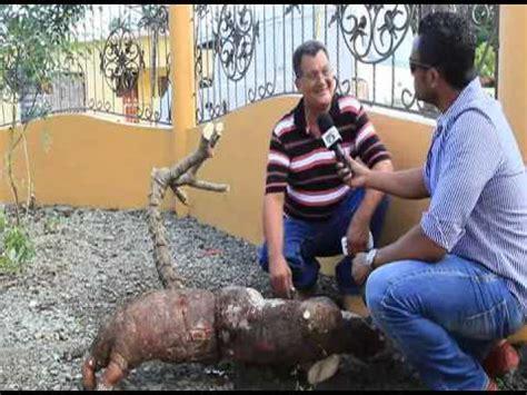 La Yuca mas grande de República Dominicana 200 libras Alex ...
