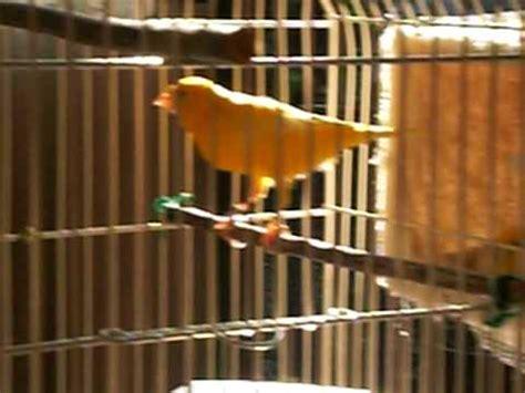 Largo canto de Canario. Canary bird s long song. Canario ...