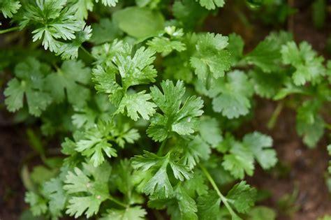 Las 12 mejores plantas aromáticas de interior y exterior