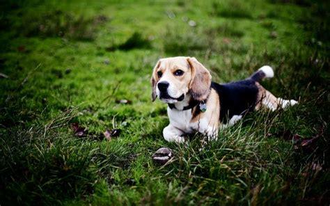 Las 15 mejores razas de perros para niños   Maternidadfacil