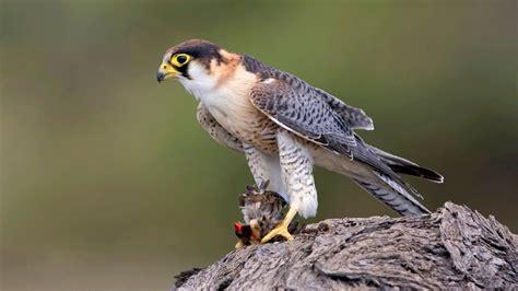 Las 21 aves en peligro de extinción en España