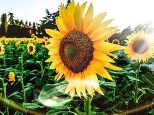 Las [33] Flores Bonitas más Comunes, Bonitas y Fáciles de ...