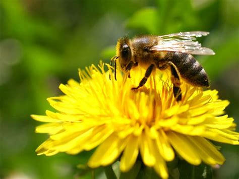 Las abejas eligen néctar con pesticidas