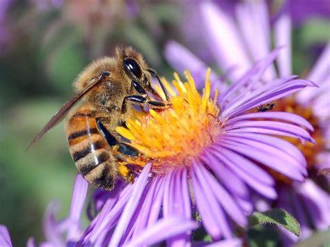Las abejas trabajan más en la ciudad