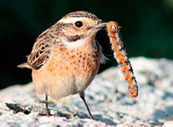 Las aves insectívoras como controladoras de plagas ...