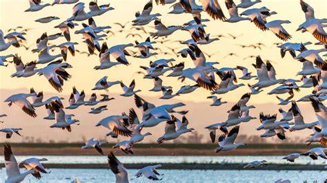 Las aves migratorias   Hogarmania