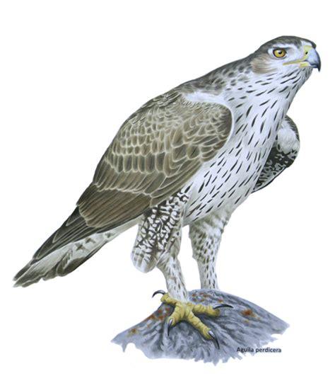 Las aves rapaces en el Medio Vinalopó y su importancia ...