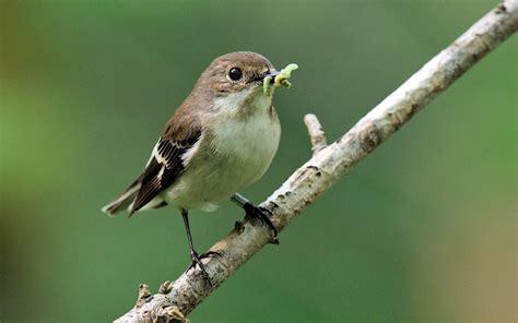 Las aves se comen cada año entre 400 y 500 millones de ...