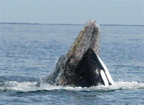 Las ballenas asesinas de ballenas   La Ciencia de la Mula ...